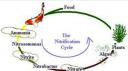 gambar siklus nitrifikasi the nitrification cycle 128x71 Membuat Kolam Koi Ideal, Hal Hal Yang Perlu Mendapatkan Perhatian